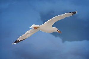 Realistic seagull. Vector