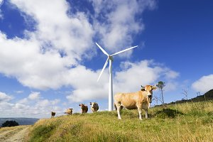 wind turbines with cows and calves