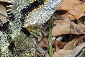 Dragon Lizard - Cape Byron