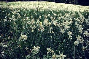 Narcissus Flower Field in Grass