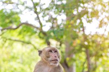 monkey or crab-eating macaque.