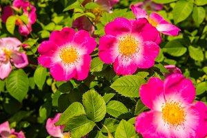 beautiful pink dog-roses