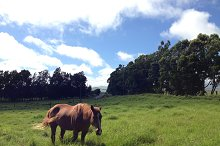 Happy horse at a pasture in Hawaii