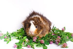 guinea pig and clover