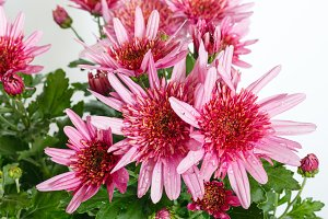 Pink Chrysanthemum flowers.