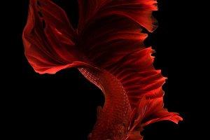 Siamese betta fish