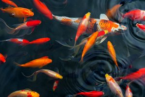 Koi Carps Fish Japanese swimming