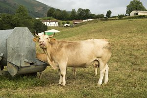 Cow after drinking