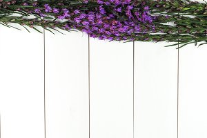 Fresh purple flower, Lavender, laying on white wood with copy space