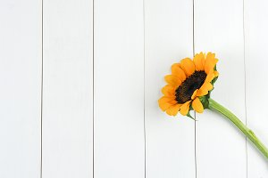 Single sunflower laid on clean white wooden plank