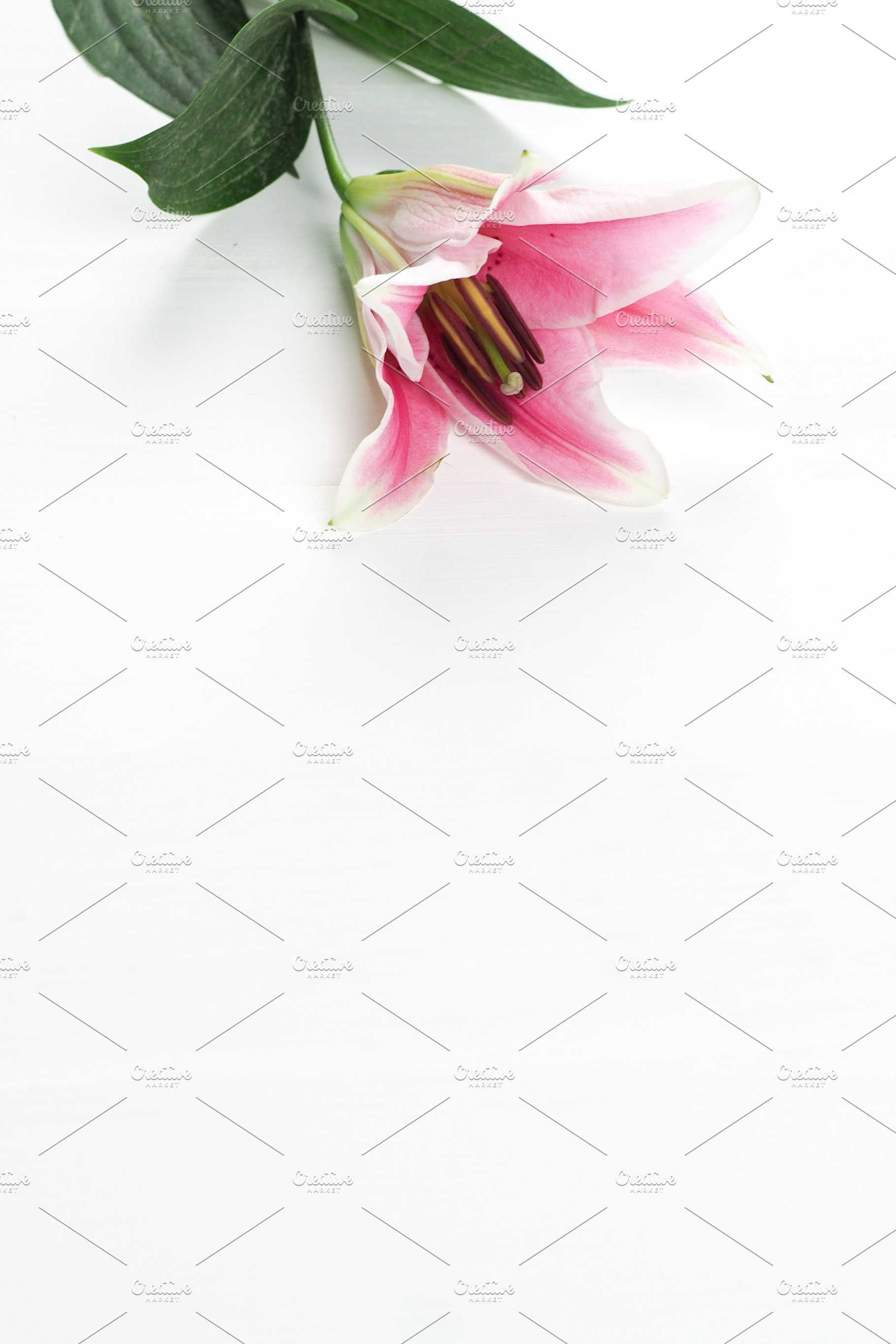 Pink Lily Flower Pedals On White Background Portrait View
