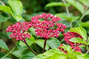 Leea Rubra flowers