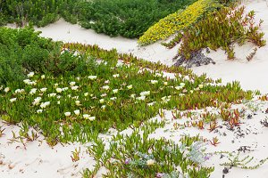 White Carpobrotus flowers on sand