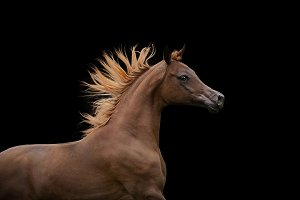 red chestnut arabian horse
