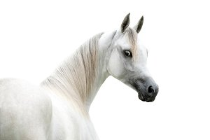 Arabian horse portrait