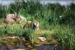 The beautiful brown cat hunts in a green grass. As in the jungle.