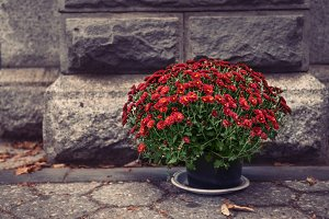 flower pot with red chrysanthemums
