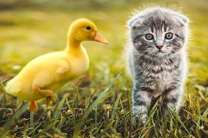 Small duckling playing with cat