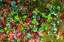 autumn wet leaves after rain