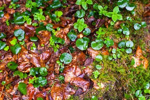 autumn wet leaves after rain