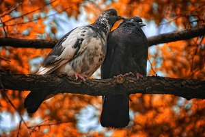 Pair of pigeons birds in love
