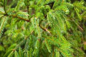 green pine branches with needles