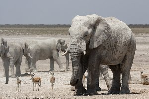 Elephants and Springbok