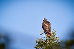 Male Hawk
