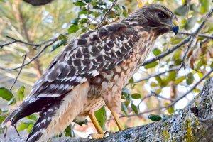 Female Hawk