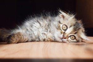 nice fluffy kitten