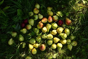 Many fresh ripe pears on the green grass