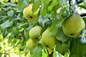 Many pear with branch details