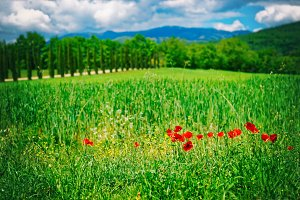 Grass field with poppies