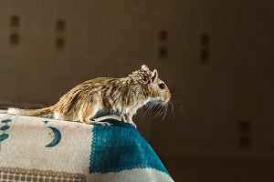 Gerbil mouse standing on the edge of the table