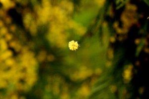 Wattle Flower Falling