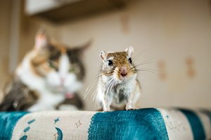Mongolian gerbil mouse and the cat on background. Concepts of prey, food, pest, interrelation, help, danger