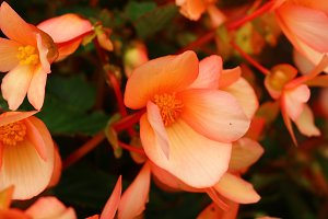 Bright  peachy orange begonias