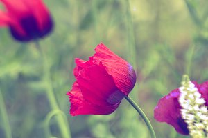 Purple red poppies