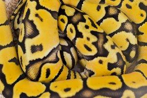 Big boa snake