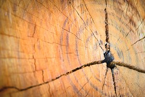 texture of growth rings tree