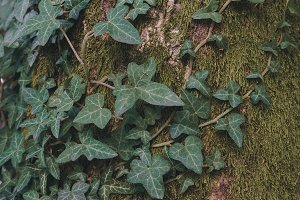 Ivy on the tree background