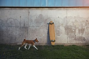 Basenji dog and longboard