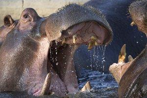 Hippopotamus fighting