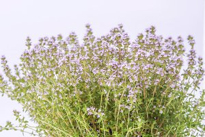 Thyme blossoming