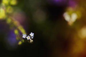 Macro forget-me-nots bloom