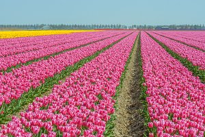 Tulip growing in the Netherlands