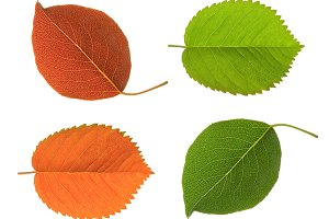 green and red leaf isolated