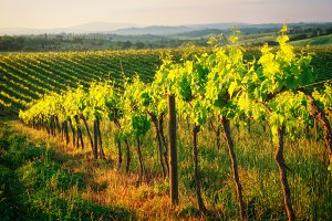 Rows of vines in Tuscany