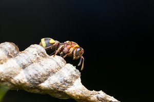 Macro insect hornet