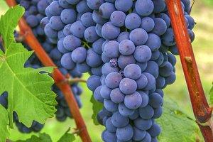 Blue Nebbiolo grapes